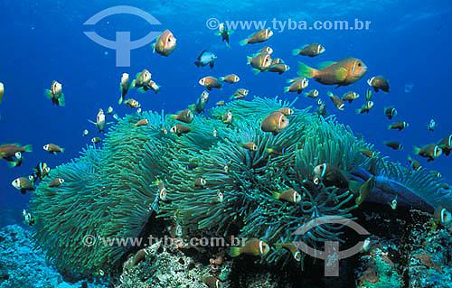 Imagem submarina - Mar - Anêmonas e Peixes Palhaço - Oceano Índico