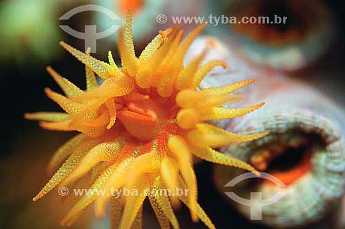 Anêmona-do-mar (Ordem Actiniaria) - espécie ocorrente em todo o litoral brasileiro - Brasil - dezembro 2006