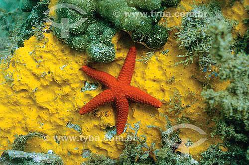 Estrela-do-mar sobre esponjas - Classe Asteroidea - espécie ocorrente no norte, nordeste e sudeste brasileiro - Brasil - dezembro 2006