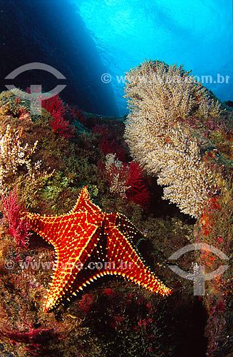 Estrela do mar (Oreaster reticulatus) - Angra dos Reis region - Rio de Janeiro state - Brazil  - Angra dos Reis - Rio de Janeiro - Brasil