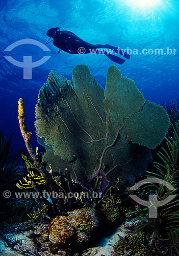 Gorgônia e mergulhador - Bonaire