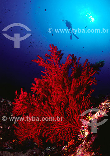 Gorgonia vermelha, Anthozoa (Paramuricea calavata) - Mediterrâneo - França