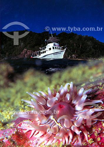 Anêmona com barco ao fundo - Florianópolis - SC - Brasil  - Florianópolis - Santa Catarina - Brasil
