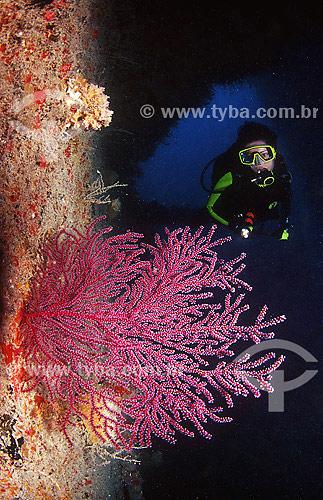 Gorgônia, octocoral (Muricea flama) na polpa do naufrágio Guadiana - Abrólhos - BA - Brasil  - Caravelas - Bahia - Brasil