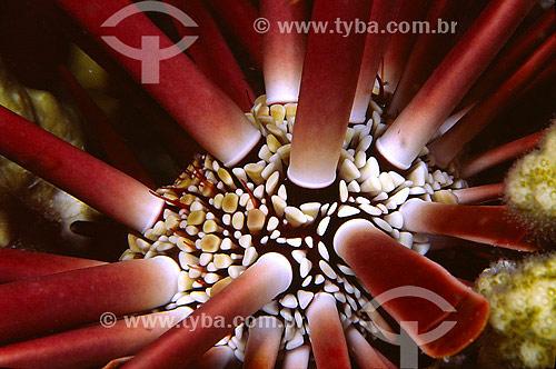 Assunto: Ouriço-Satélite (Eucidaris Tribuloides) no Mar Vermelho / Local: Egito - África / Data: 05/2002