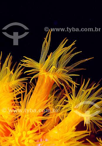 Coral do Sol (Tubastrea) - Bonaire