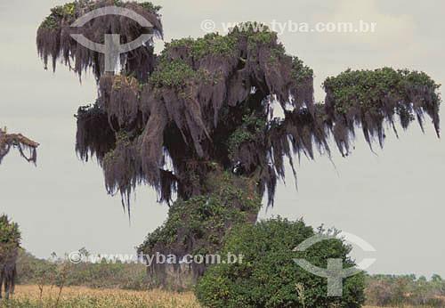 (Tillandsia usneoides) - árvore de grande porte com acúmulo de barba-de-velho - sul do Brasil