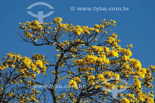 Ipê amarelo - Limeira - SP - Brasil  - Limeira - São Paulo - Brasil