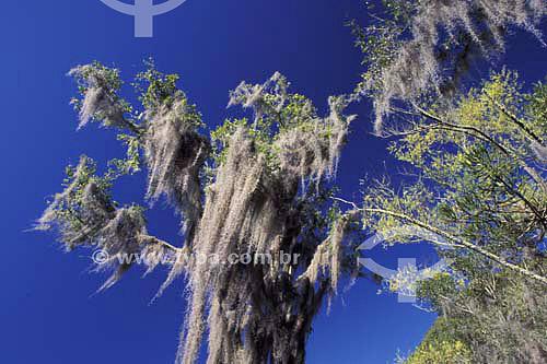 Árvore com Barba de Velho - Urubici - Santa Catarina - Brasil - Maio de 2004  - Urubici - Santa Catarina - Brasil