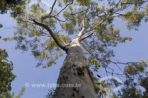 Árvore Pau Ferro (Caesalpinia ferrea)