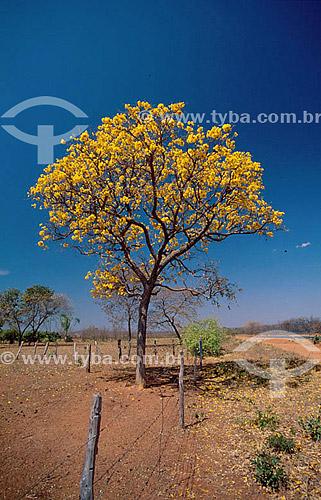 (Tabebuia serratifolia) - Ipê Amarelo / Data: 09/1999