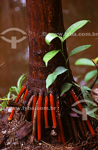 (Euterpe oleracea) Raízes de um açaizeiro - Amazônia - Brasil