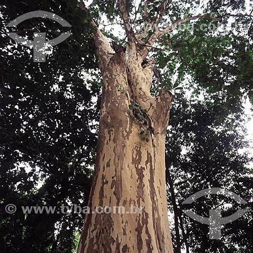 (Caesalpinia ferrea) Pau Ferro - Jardim Botânico - Rio de Janeiro - RJ - Brasil  - Rio de Janeiro - Rio de Janeiro - Brasil