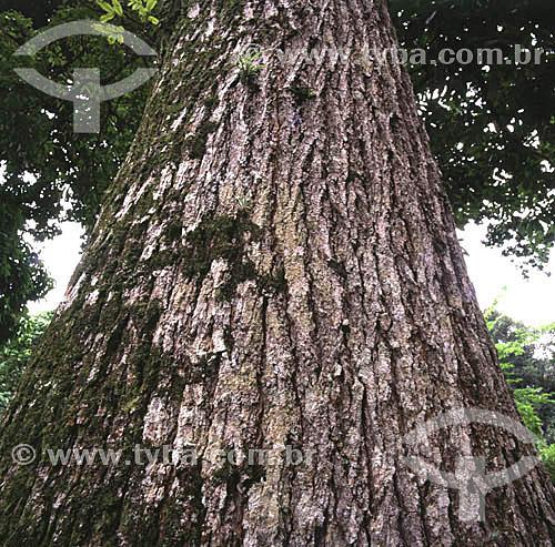 (Swietenia macrophylla) Mogno de Goiás - árvore - Jardim Botânico - Rio de Janeiro - RJ - Brasil  - Rio de Janeiro - Rio de Janeiro - Brasil