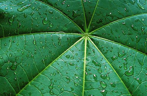 Detalhe de folha de Mamona com gotas de água - Planta usada na fabricação do Biodiesel