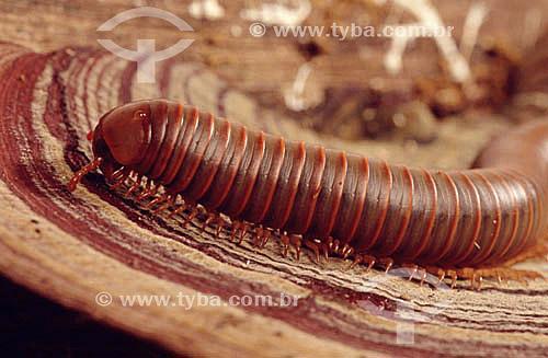 Piolho de cobra ou  gongolô
