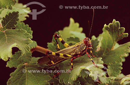 (Tropidacris collaris) - gafanhoto