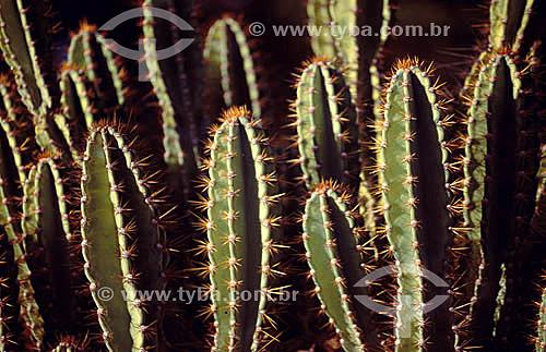 (Cereus jamacaru) - Mandacaru - cactus da Caatinga - Brasil