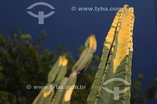 Detalhe de um Cactus  foto digital