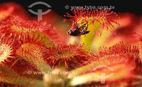(Drosera rotundifolia) Drosera - planta carnívora com uma mosca
