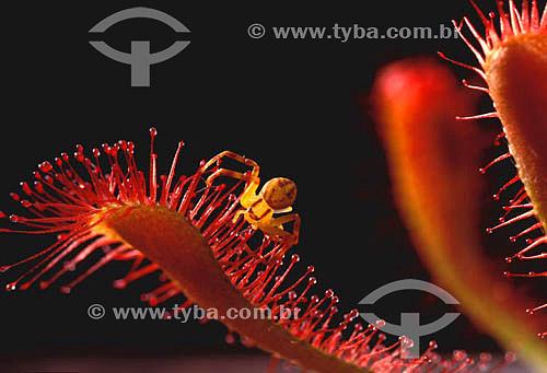(Drosera rotundifolia) Drosera - planta carnívora com uma aranha