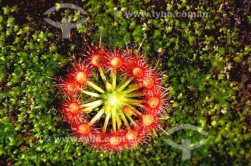 Micro Drosera da Austrália - planta carnívora