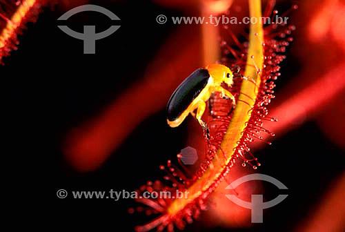 (Drosera capensis) Drosera - planta carnívora