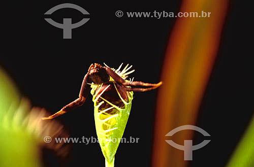 (Dionaea muscipula) Dionéia - planta carnívora com uma aranha