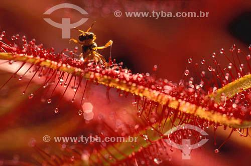 Assunto: Drosera (Drosera capensis) - planta carnívora com uma abelha / Local:  / Data: 1995