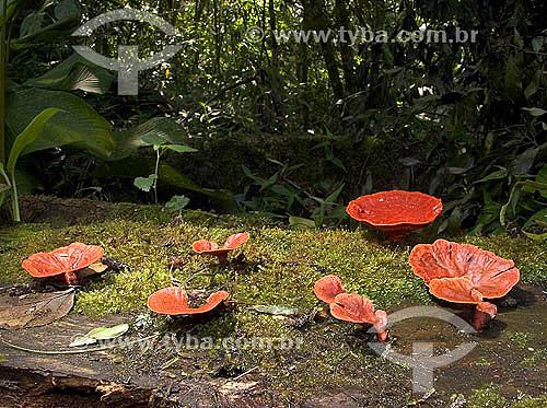 Orelha-de-Pau - fungo - Cogumelo vermelho