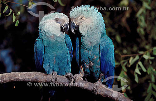 Assunto: (Cyanopsitta spixii) - Ararinha Azul - PARNA do Pantanal Matogrossense / Local: Mato Grosso (MT) - Brasil / Data: 01/1995