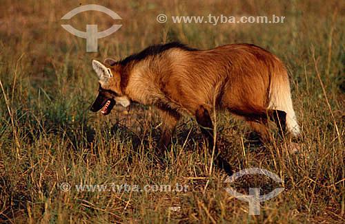 (Chrysocyon brachyurus) Lobo Guará