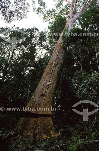 (Dinizia excelsa) Angelim Vermelho - desmatamento - Amazônia - Brasil. Data: 2001