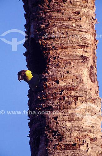 (Nandayus nenday) - Príncipe Negro - PARNA do Pantanal Matogrossense  - MT - Brasil  A área é Patrimônio Mundial pela UNESCO desde 2000.  - Mato Grosso - Brasil