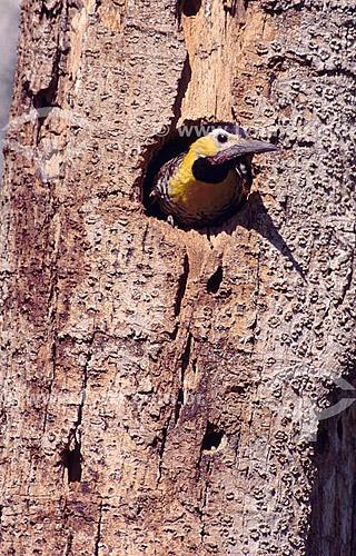 (Colaptes campestris) - Pica-Pau-do-Campo em um buraco no tronco de árvore - PARNA do Pantanal Matogrossense  - Mato Grosso - Brasil  A área é Patrimônio Mundial pela UNESCO desde 2000.  - Mato Grosso - Brasil