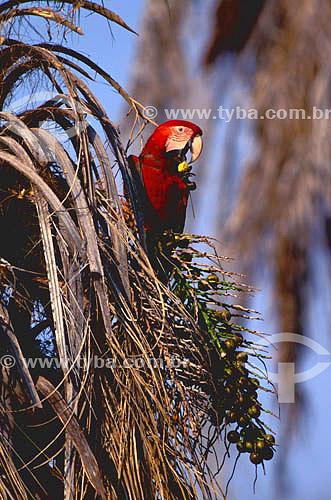 (Ara chloroptera) Arara Vermelha comendo bocaiúva - Pantanal Matogrossense  - MT - Brasil  A área é Patrimônio Mundial pela UNESCO desde 2000.  - Mato Grosso - Brasil