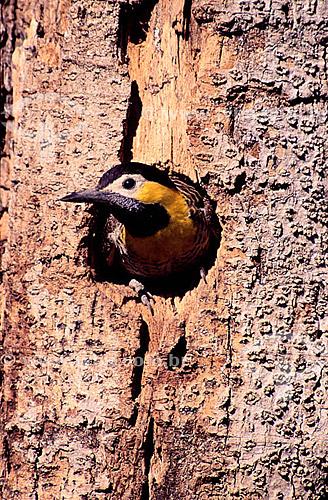 (Colaptes campestris) - Pica-pau-do-Campo em um toco de árvore - PARNA do Pantanal Matogrossense  - Mato Grosso - Brasil  A área é Patrimônio Mundial pela UNESCO desde 2000.  - Mato Grosso - Brasil