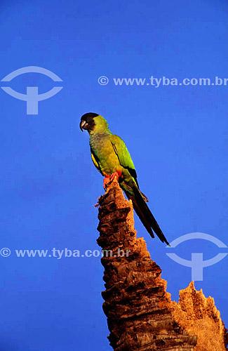 (Nandayus nenday) Príncipe-Negro - PARNA Pantanal Matogrossense  - MT - Brasil  A área é Patrimônio Mundial pela UNESCO desde 2000.  - Mato Grosso - Brasil