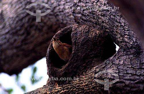 (Furnarius rufus) João-de-barro ou Forneiro - PARNA do Pantanal Matogrossense  - MT - Brasil  A área é Patrimônio Mundial pela UNESCO desde 2000.  - Mato Grosso - Brasil