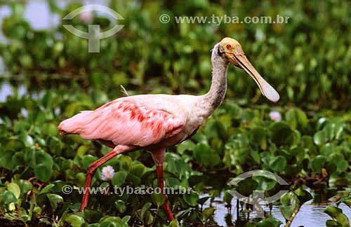 (Ajaia ajaja) Colhereiro - PARNA do Pantanal Matogrossense  - MT - Brasil  A área é Patrimônio Mundial pela UNESCO desde 2000.  - Mato Grosso - Brasil