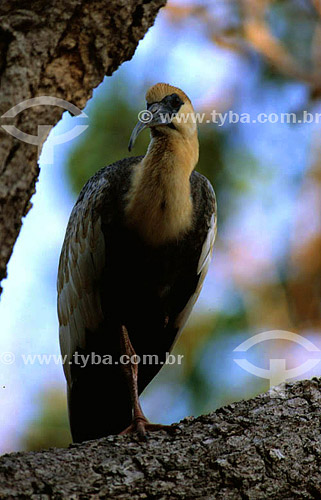 (Theristicus caudatus) Curicaca  - PARNA do Pantanal Matogrossense  - MT - Brasil  A área é Patrimônio Mundial pela UNESCO desde 2000.  - Mato Grosso - Brasil