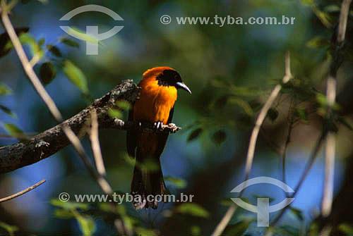 (Icterus icterus) João Pinto ou Sofrê - PARNA do Pantanal Matogrossense  - MT - Brasil  A área é Patrimônio Mundial pela UNESCO desde 2000.  - Mato Grosso - Brasil