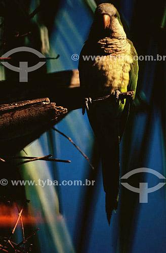 (Myiopsitta monachus) Caturrita - PARNA do Pantanal Matogrossense  - MT - Brasil  A área é Patrimônio Mundial pela UNESCO desde 2000.  - Mato Grosso - Brasil