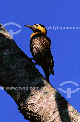 (Colaptes campestris) Pica-Pau-do-Campo - PARNA do Pantanal Matogrossense  - MT - Brasil  A área é Patrimônio Mundial pela UNESCO desde 2000.  - Mato Grosso - Brasil