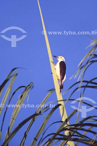 (Leuconerpes candidus) Pica-Pau-Birro - PARNA do Pantanal Matogrossense  - MT - Brasil  A área é Patrimônio Mundial pela UNESCO desde 2000.  - Mato Grosso - Brasil