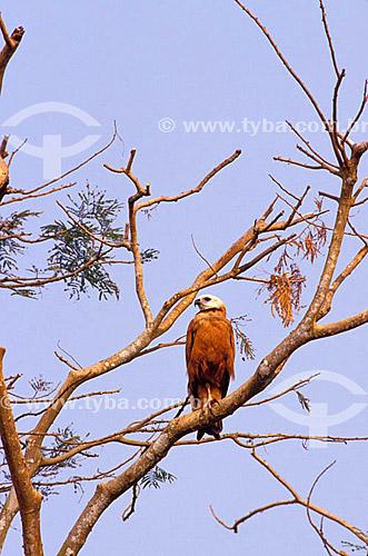 (Busarellus nigricollis) Gavião-Belo - PARNA do Pantanal Matogrossense  - MT - Brasil  A área é Patrimônio Mundial pela UNESCO desde 2000.  - Mato Grosso - Brasil