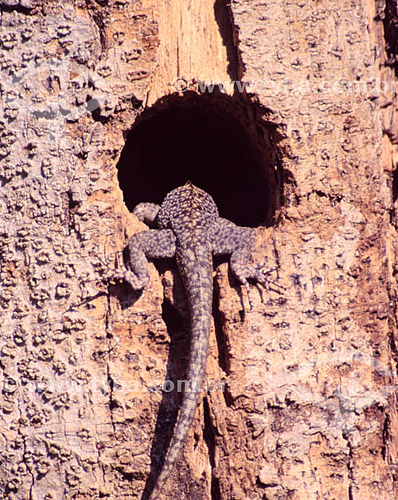 (Tropidurus sp) - Lagartixa - PARNA do Pantanal Matogrossense  - MT - Brasil  A área é Patrimônio Mundial pela UNESCO desde 2000.  - Mato Grosso - Brasil