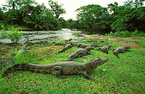 (Caiman crocodylus yacare) Jacarés - Pantanal Matogrossense  - Brasil / Data: 2005  A área é Patrimônio Mundial pela UNESCO desde 2000.