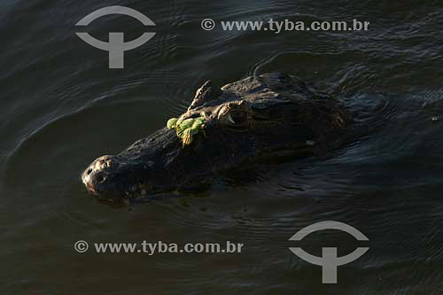 Jacaré nadando - Parque Nacional do Pantanal Matogrossense - Mato Grosso - Brasil  - Mato Grosso - Brasil