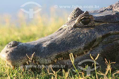 Jacaré - Parque Nacional do Pantanal Matogrossense - Mato Grosso - Brasil  - Mato Grosso - Brasil